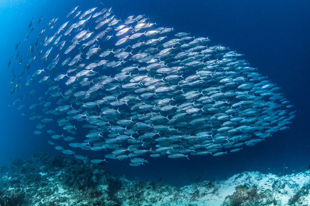 large school of mackerel
